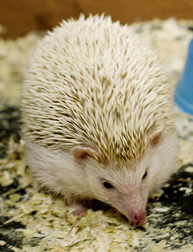 African pygmy hedgehogs