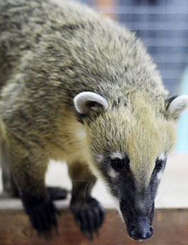 Coatis Masyaka and Lyalya