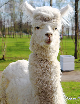 Amigo the alpaca