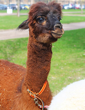 Cinnamon the alpaca