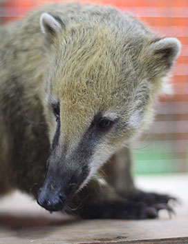 Luke the coati